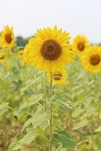 田地里怒放的太阳花