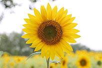 天空背景下的太阳花向日葵花花朵