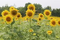 田园里盛开的太阳花向日葵花花盘