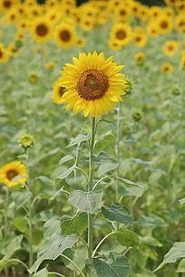 田园里盛开的向日葵花和太阳花