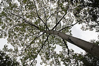 阳光下撑天的木棉树