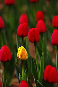 郁金香植物花苞