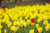 郁金香植物花卉