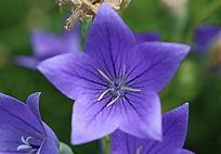 紫色桔梗花心花朵