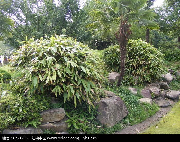 阔叶磬竹图片,高清大图_树木枝叶素材