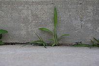 台阶缝隙中向上生长的小草