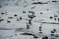 天鹅拨动海面