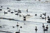 天鹅飞入海面