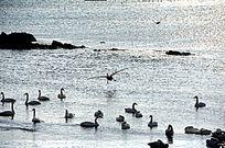 天鹅飞向海面