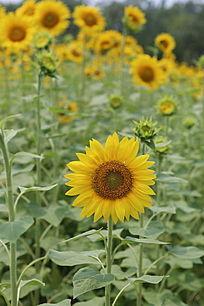 田园里盛开的向日葵花太阳花
