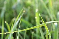 小草尖上的两滴露珠