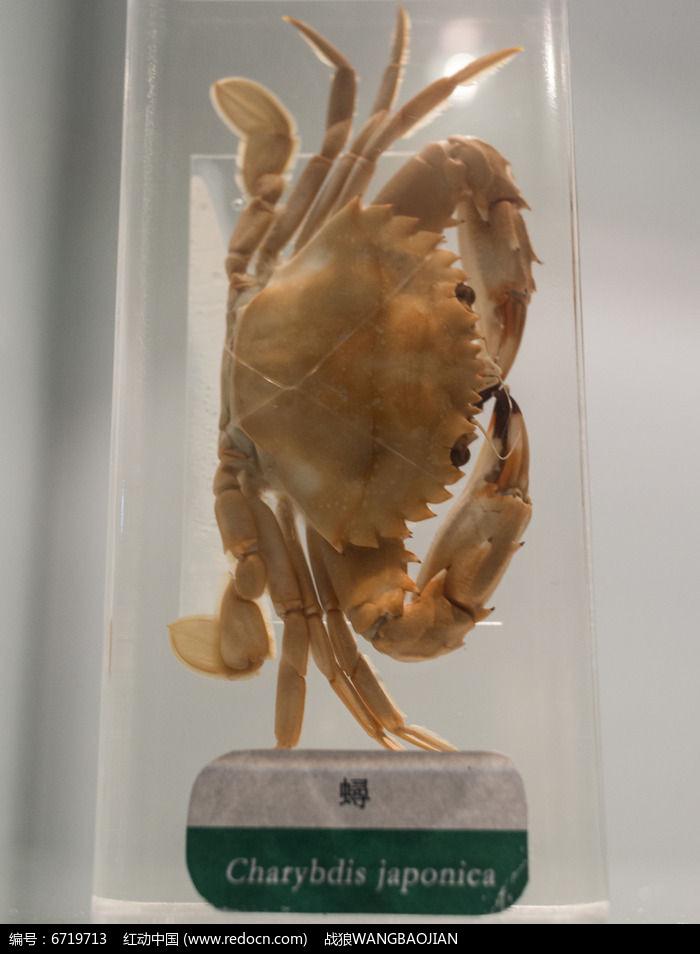螃蟹标本图片,高清大图_水中动物素材