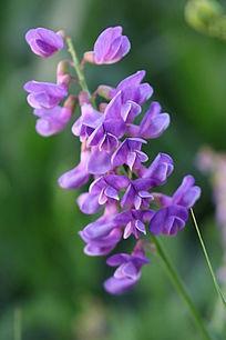 一串紫色小花