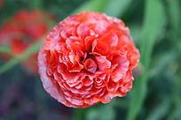 一朵红色虞美人