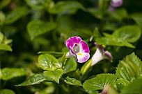 粉色小喇叭花