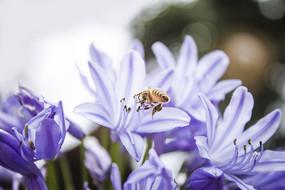 蓝色百子莲和蜜蜂