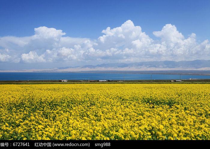 青海湖一望无边的油菜花和美丽的蓝天白云图片
