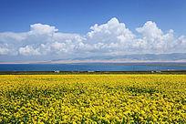 青海湖一望无边的油菜花和美丽的蓝天白云