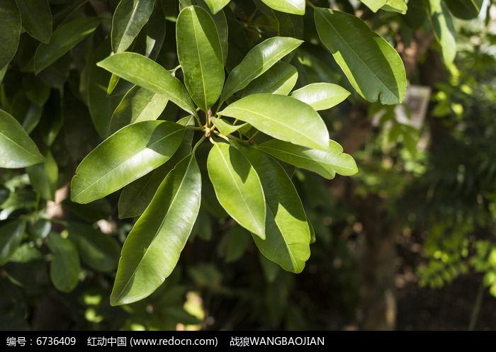 糖胶树叶子图片,高清大图