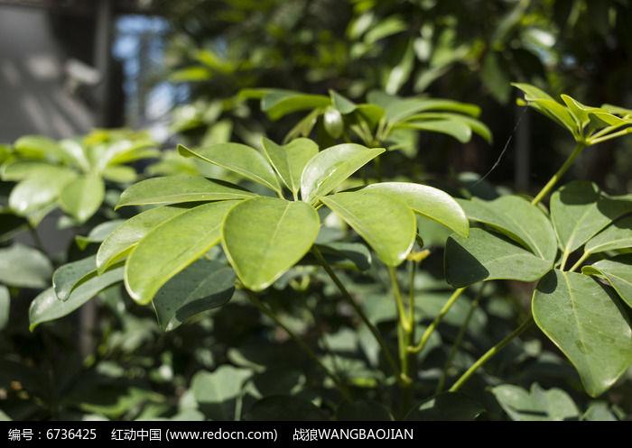 糖胶树叶子特写图片