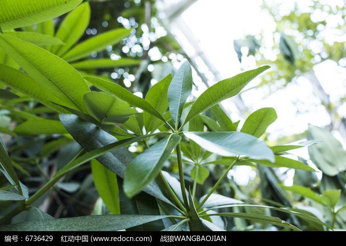 原创摄影图 动物植物 树木枝叶 糖胶树枝叶特写照  请您分享: 红动网