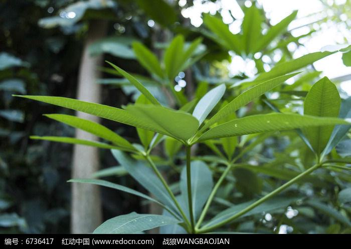 原创摄影图 动物植物 树木枝叶 糖胶树枝叶远景照  请您分享: 红动网