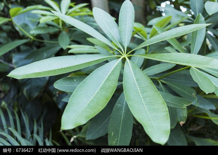 原创摄影图 动物植物 树木枝叶 糖胶树枝叶正面  请您分享: 红动网