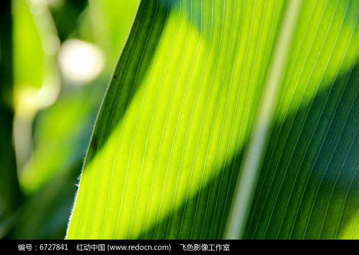 原创摄影图 动物植物 农作物 有纹路的玉米叶子  请您分享: 红动网