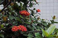 长寿花凤凰树的花