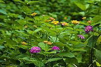 路边的紫色黄色小野花