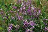 盛开的紫色花串