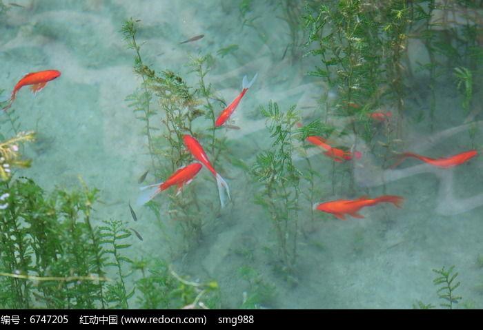 池塘里的金鱼鱼群