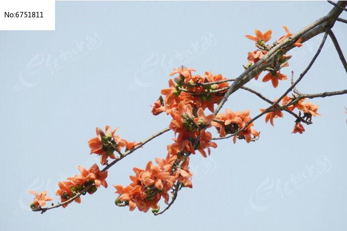 海南木棉树开花图片