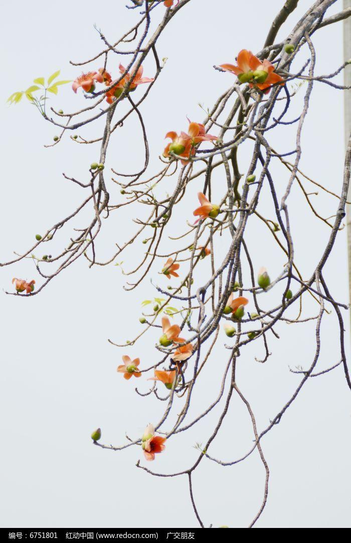 近拍海南木棉树开花特写