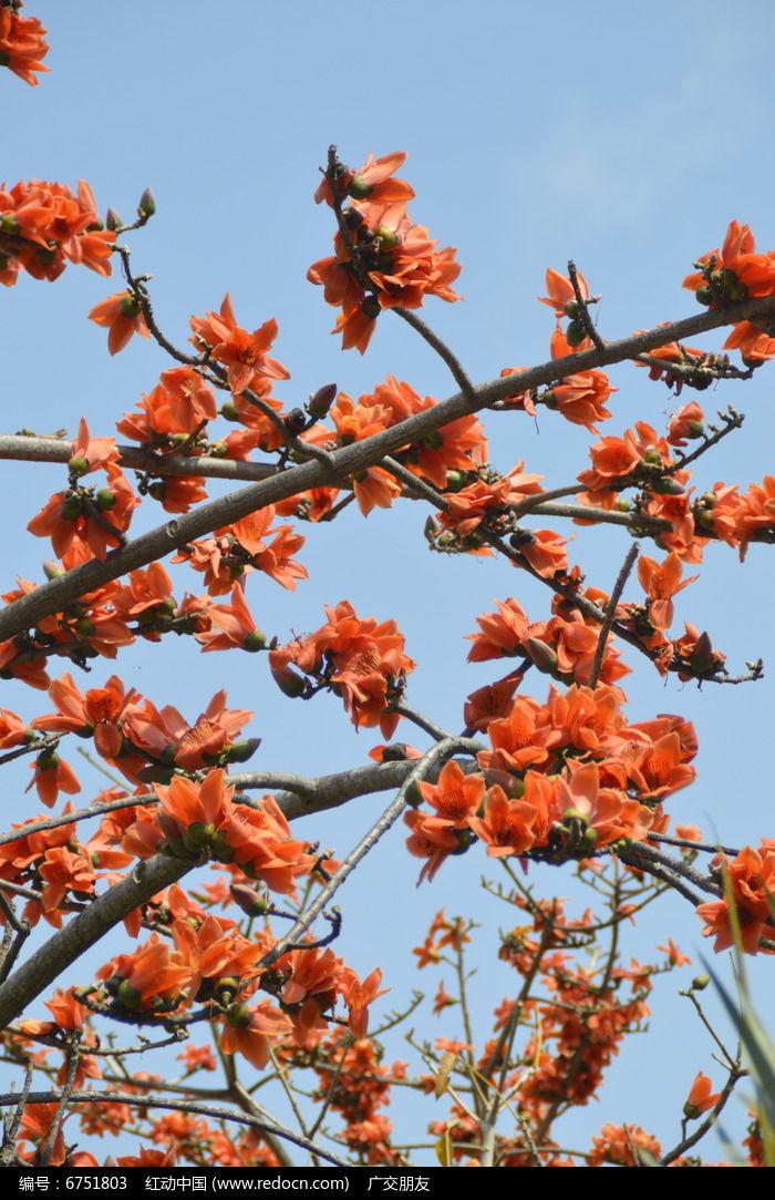近拍海南木棉树开花特写图