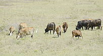 一群牛在山上吃草