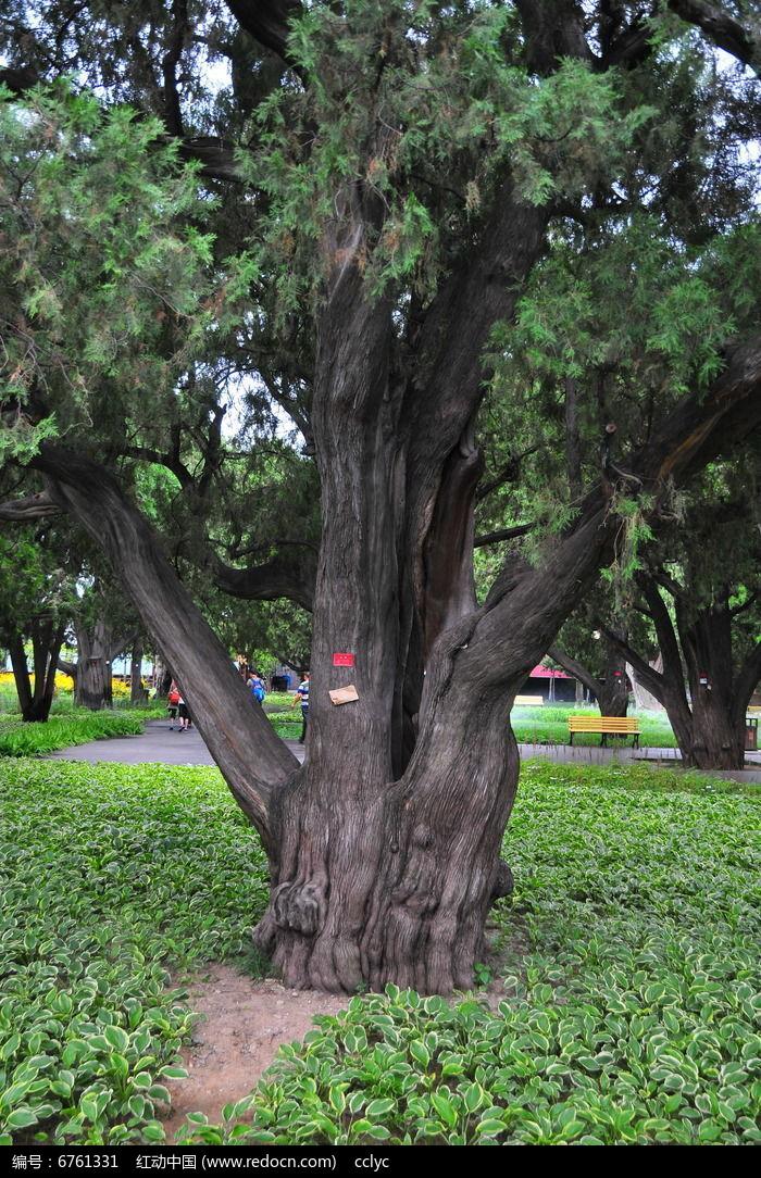 柏树图片,高清大图_树木枝叶素材