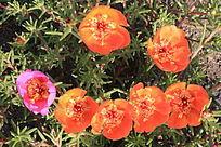 粉色与黄色蚂蚱菜花
