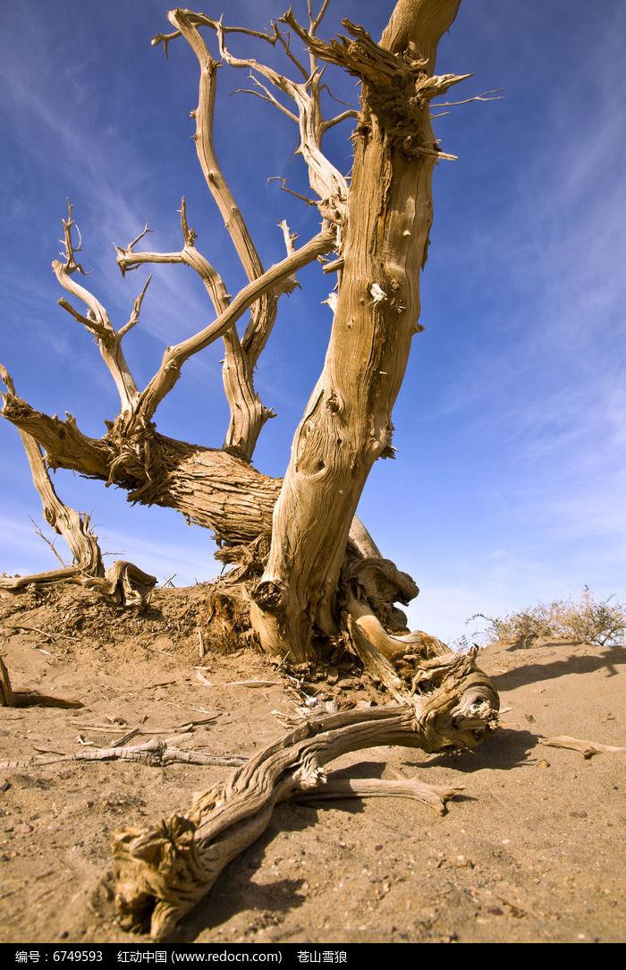 原创摄影图 动物植物 树木枝叶 胡杨林根雕