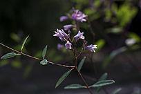 罗布麻枝叶花蕾