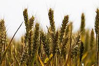 饱满的麦穗