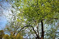 蓝天白云树叶摄影图