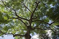 魔鬼般的枝丫纵横的凤凰木