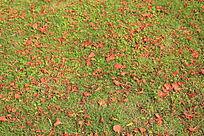洒满凤凰花的草地