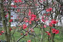 桃色花朵图片