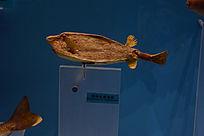 突吻尖鼻箱鯙标本