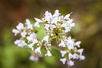 一串白色小花朵