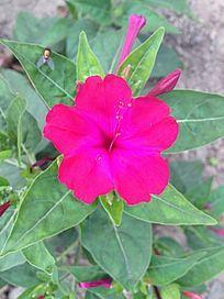 一朵美艳的红花