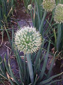 圆圆的葱花