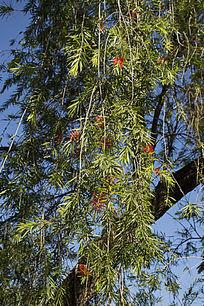 红千层与柳树